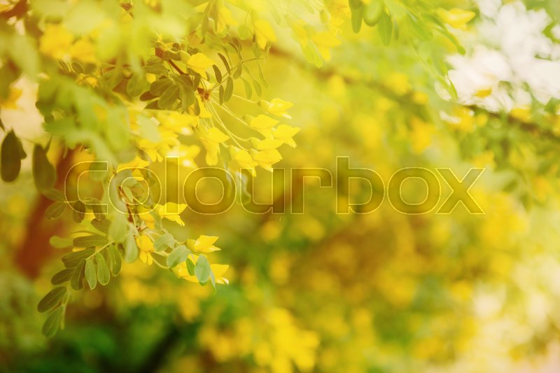 Bright little yellow flowers of siberian pea tree in sunset in bright little yellow flowers of siberian pea tree in sunset in spring sunny springtime background with copy space stock photo mightylinksfo