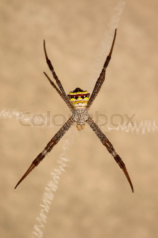 Image of spider on a brown background. Insect Animals, stock photo