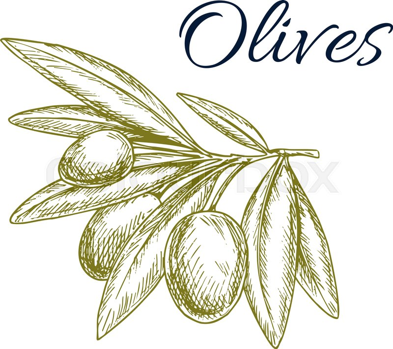 Green Olives Isolated Sketch Olive Tree Branch With Ripe Fruit And Pointed Leaves Symbol
