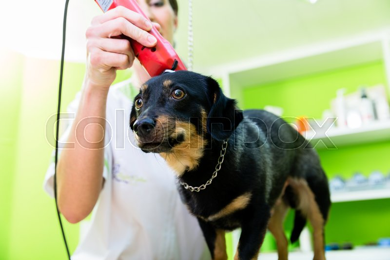 Woman is shearing dog in pet grooming parlor , stock photo