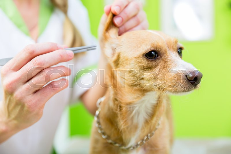 Dog gets ear clearing with pincers in pet grooming parlor, stock photo
