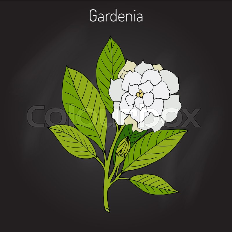 Gardenia jasminoides, gardenia, cape jasmine, cape jessamine, danh-danh, or jasmin. Hand drawn botanical vector illustration, vector