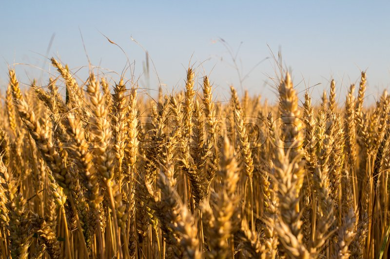 Stock image of 'Wheat and ear of wheat under blue sky'