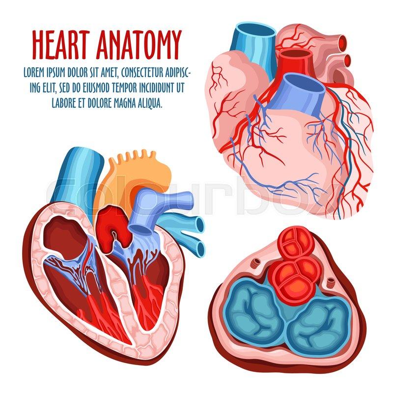 Anatomy of heart, human coronary organ with atrium and aorta, vein ...