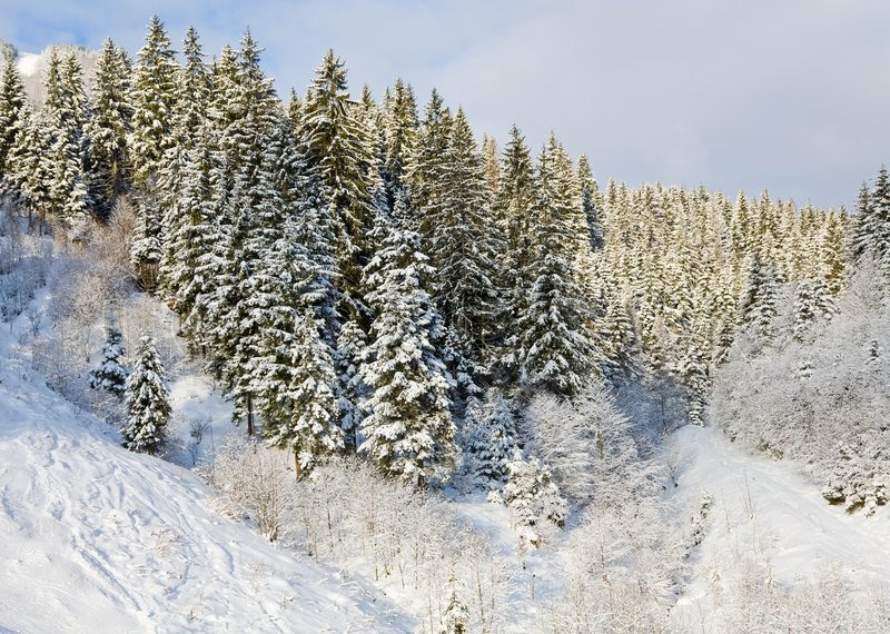 Winter calm mountain landscape with snow-covered spruce-trees, stock photo