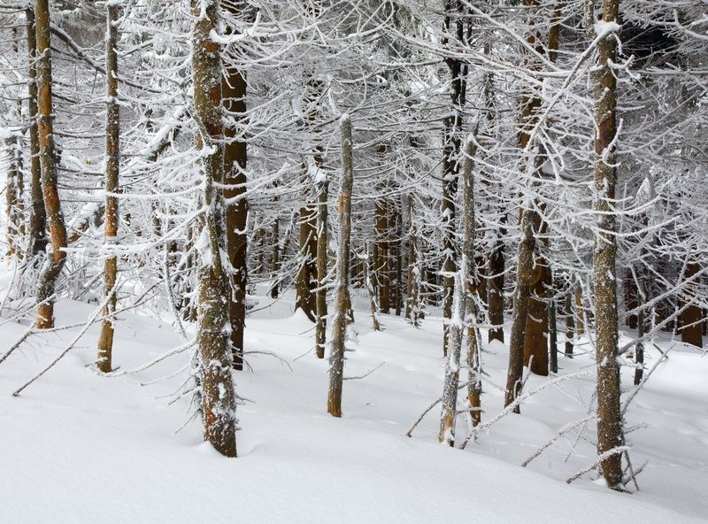 Stock image of 'Dark wild winter forest with rime and snow covered spruce trees'