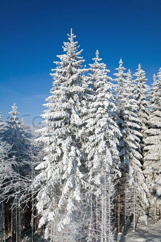 Winter calm mountain landscape with rime and snow covered spruce trees, stock photo