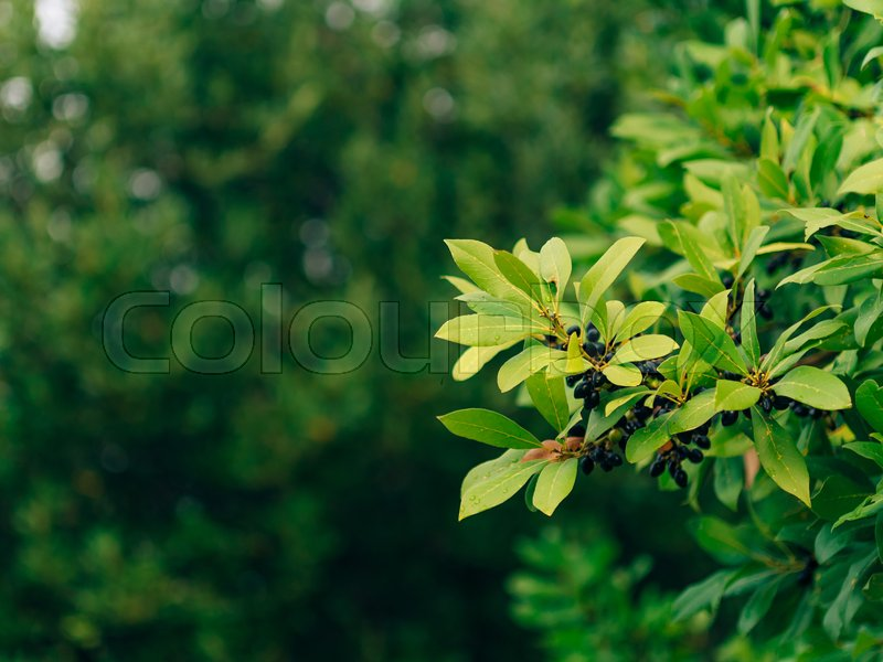 Leaves of laurel and berries on a tree. Laurel leaf in the wild nature of Montenegro, stock photo