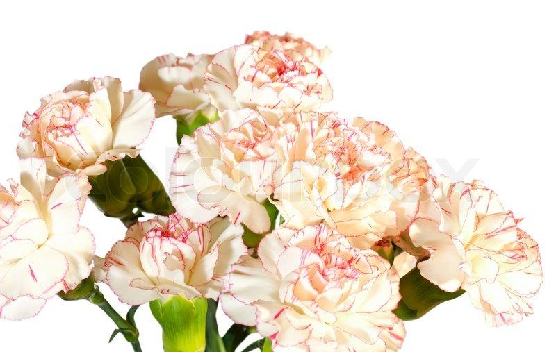 Weiß-rosa Nelke (Dianthus ) Blumen Strauß Teil auf weißem ...