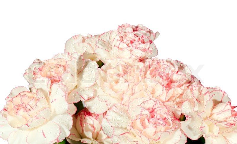 Weiß-rosa Nelke (Dianthus ) Blumen Strauß Teil mit Tautropfen auf ...