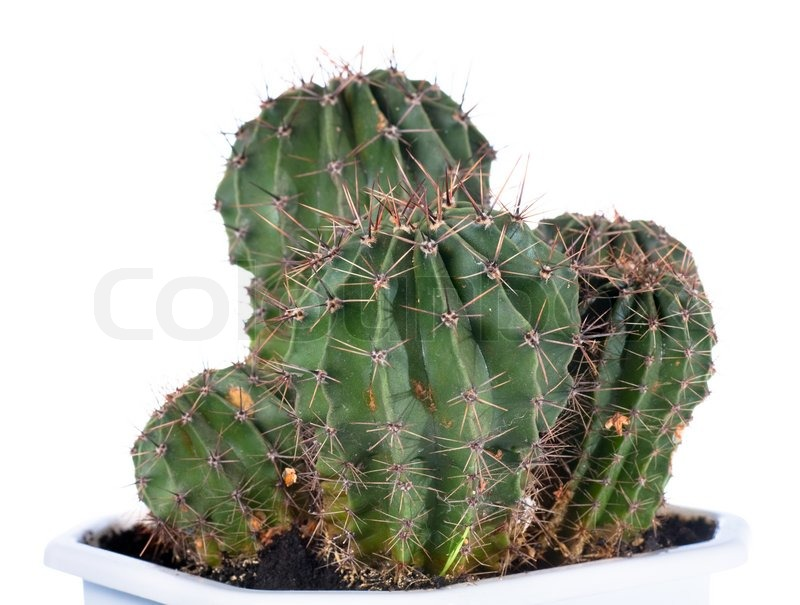 Stock image of 'Thorny barrel cactus plant isolated on white'