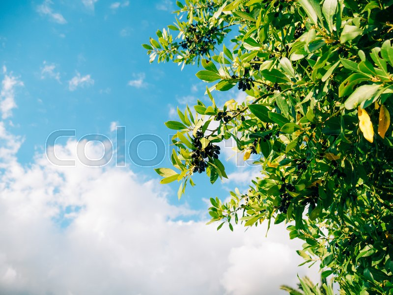 Leaves of laurel and berries on a tree. Laurel leaf in the wild nature of Montenegro. Against the background of the sky, stock photo