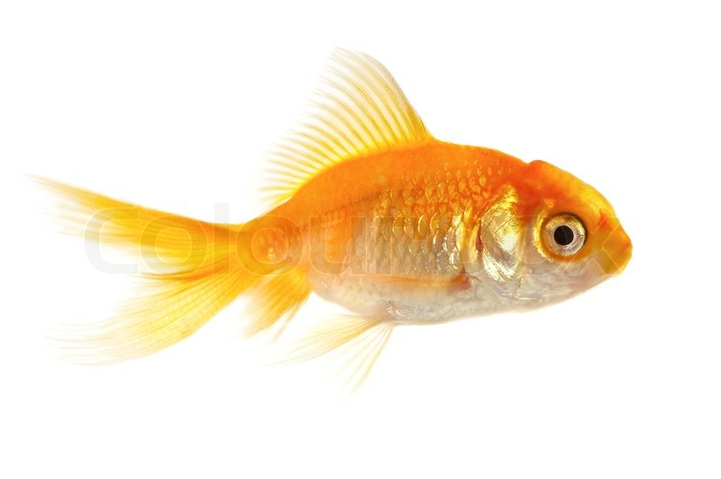 Gold small fish on a white background stock photo for Small fish pictures