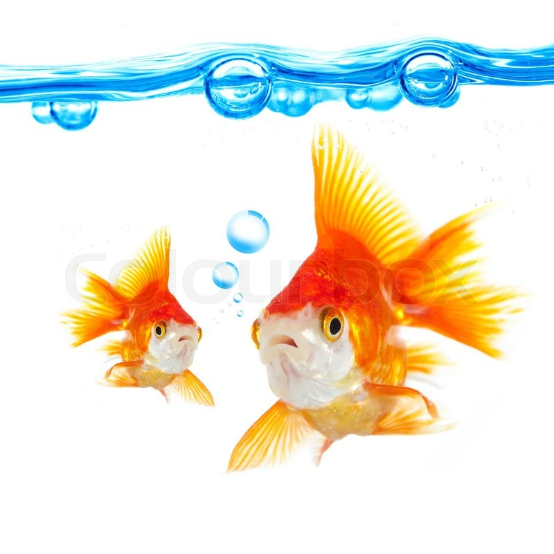 Goldfish and bubbles on a white background stock photo for Golden fish pipe
