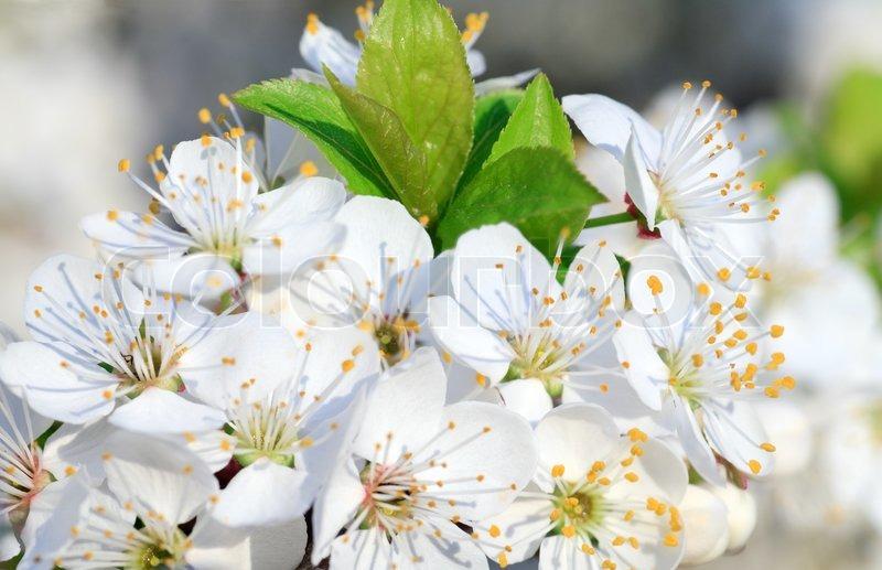 Weiße Blüte der \