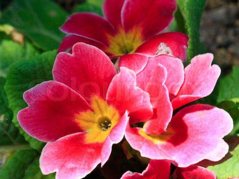 Pflanzen Primula Mit Blumen Fruhjahr Hintergrund Stockfoto