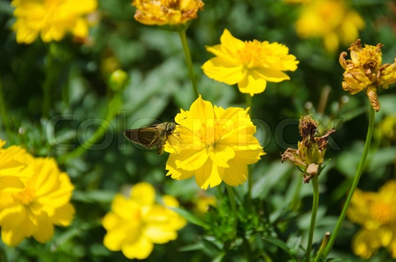 Butterfly on yellow cosmos flower stock photo colourbox mightylinksfo