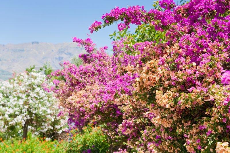 rosa bl ten von oleander im sommer tag in sizilien stock. Black Bedroom Furniture Sets. Home Design Ideas