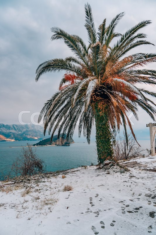 Snow-covered palm tree. Palm covered with snow. Winter on the coast of Montenegro, in Budva, stock photo