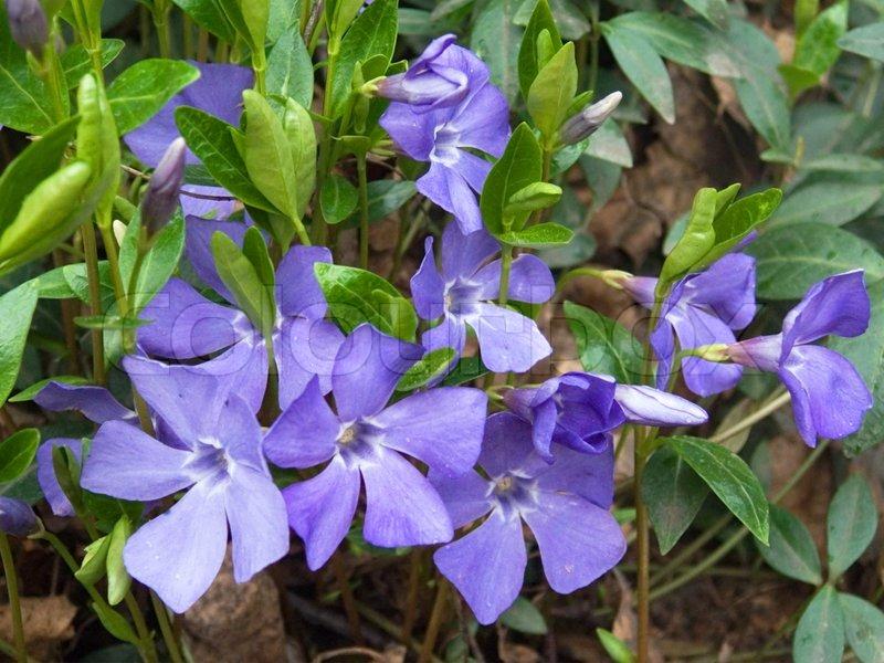 Pflanzen Von Immergrun Mit Blumen Stockfoto Colourbox