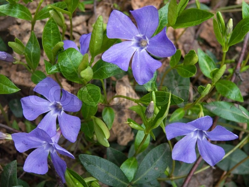 Pflanzen Von Immergrun Mit Blumen Fruhjahr Hintergrund Stockfoto