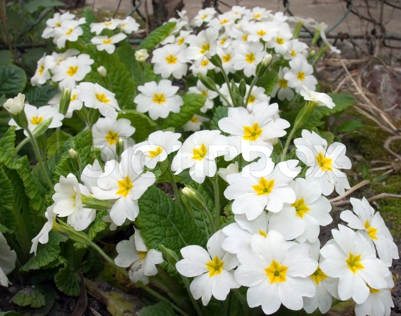 Plant With White Spring Flowers Stock Photo Colourbox