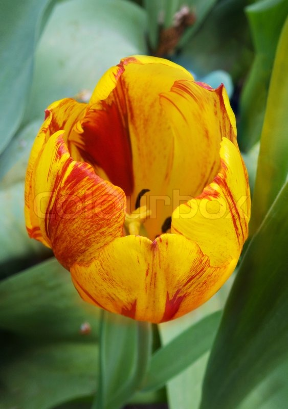 Tulip Flower Picture on Stock Image Of  Red Yellow Striped Tulip Flower  From Above