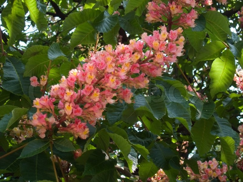Part of spring blossoming chestnut tree with pink flowers stock part of spring blossoming chestnut tree with pink flowers stock photo mightylinksfo Gallery