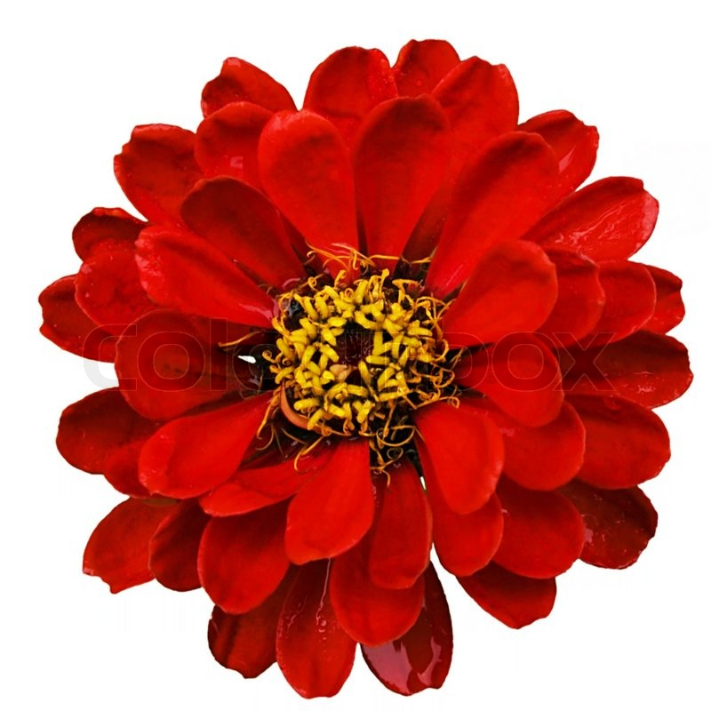 Attractive red flower isolated on white background | Stock ...