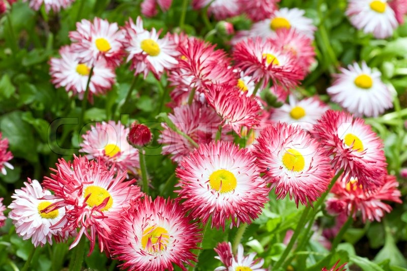 Plants of daisy with flowers spring background stock photo plants of daisy with flowers spring background stock photo mightylinksfo