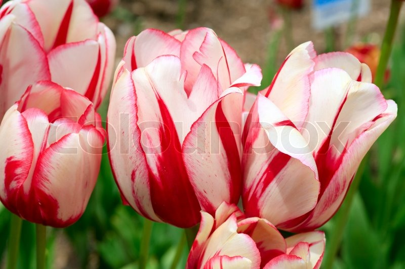 Spring holiday red white tulip flowers on flower bed nature stock image of spring holiday red white tulip flowers on flower bed mightylinksfo Choice Image