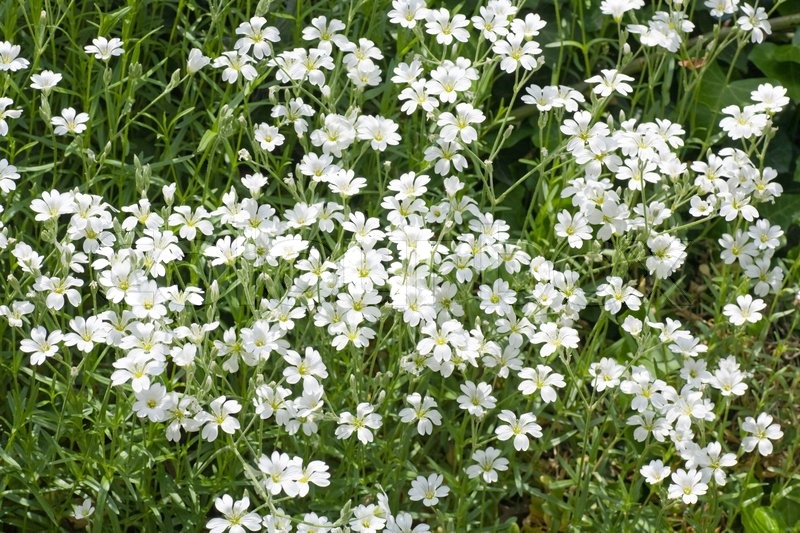 White Flowers On Flower Bed In Spring Stock Photo Colourbox