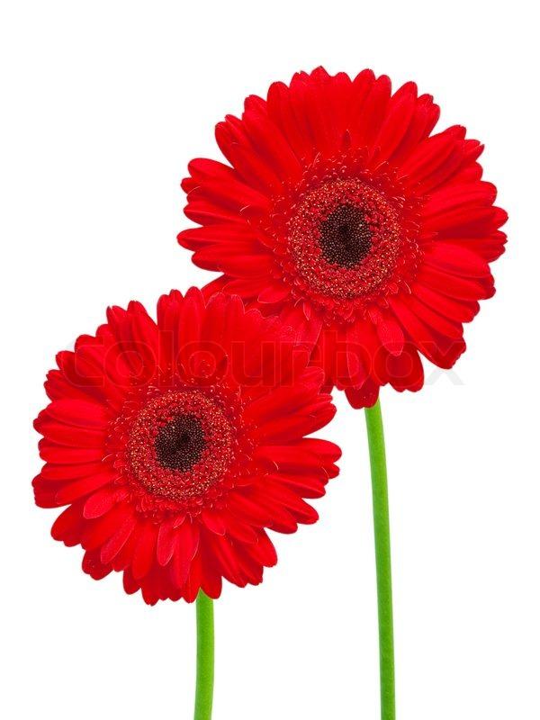 Gerber Blume auf weißem Hintergrund | Stockfoto | Colourbox