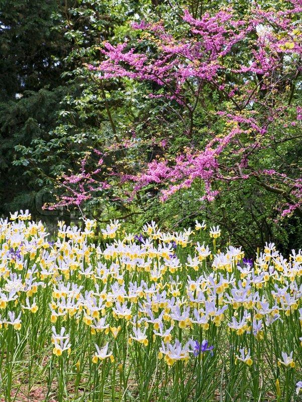 sch ne wei gelbe iris blume auf blume bett im fr hjahr park stockfoto colourbox. Black Bedroom Furniture Sets. Home Design Ideas