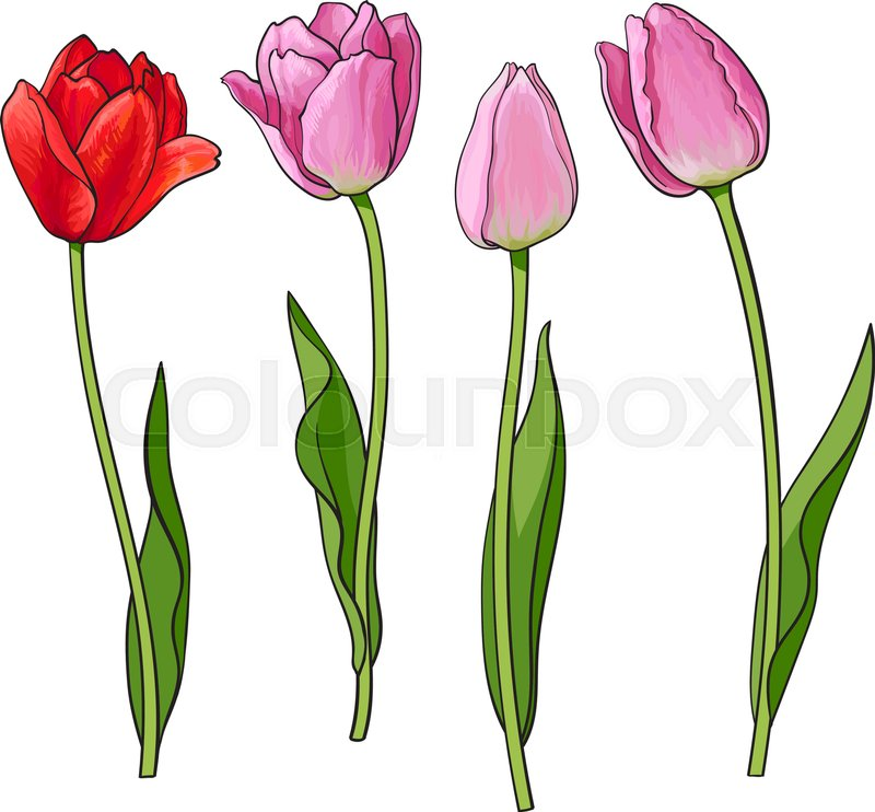 Closed Tulip Flower Sketch Style Vector Illustration Isolated On White Background Realistic Hand Drawing Of Flowers Decoration Element