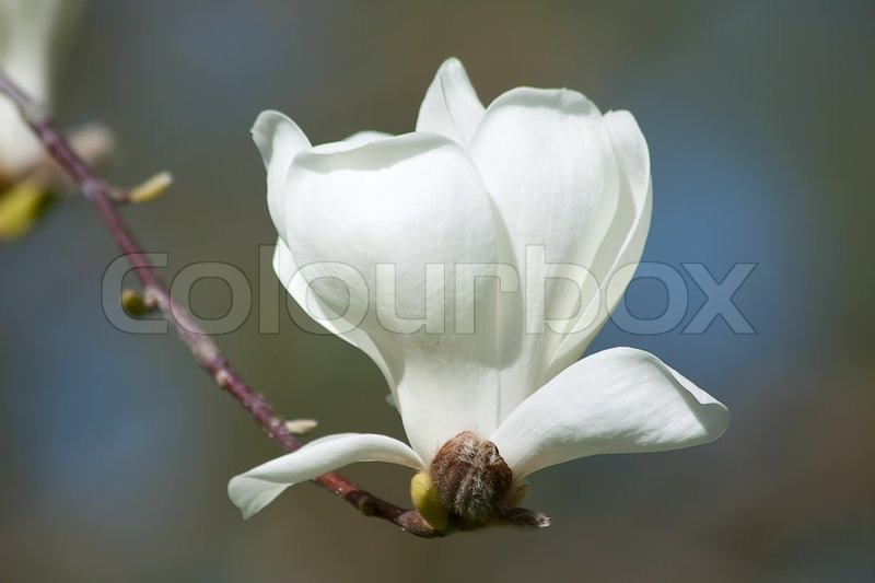 Magnificent white magnolia flowers in the spring garden stock magnificent white magnolia flowers in the spring garden stock photo colourbox mightylinksfo