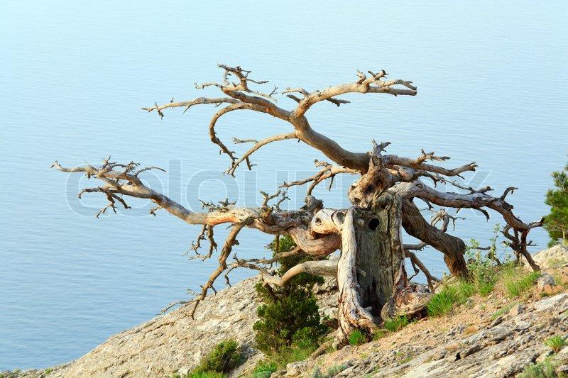 Withered juniper tree on sea background (Crimea, Ukraine ...