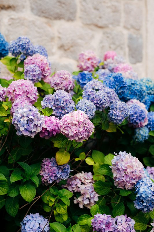Blue, blue, pink flowers Hydrangea in the old town of Perast in Montenegro, stock photo
