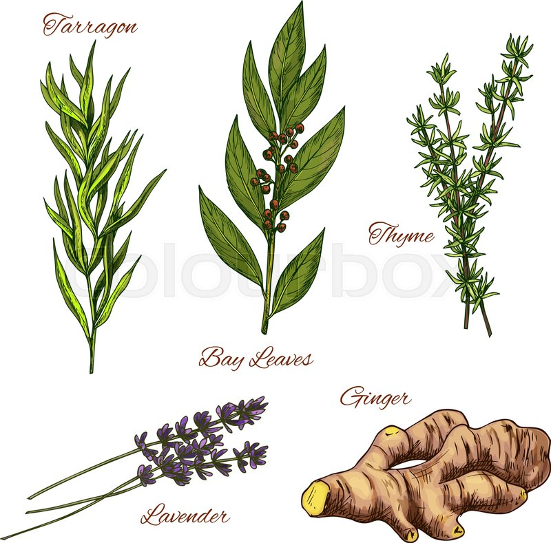 Herbs and spices vec