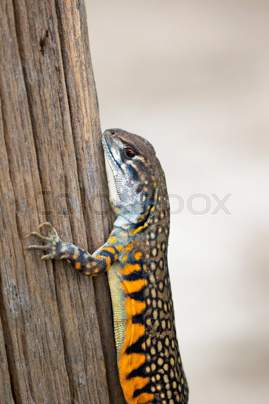 Image of Butterfly Agama Lizard (Leiolepis Cuvier). Reptile Animal, stock photo