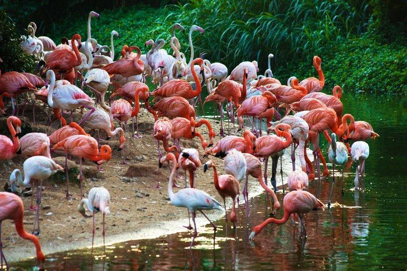 Group Of Flamingos 63