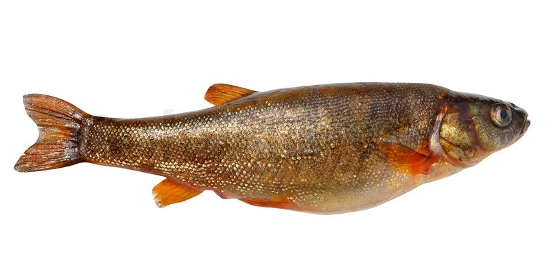 Phoxinus Perenurus Small Fish Carp Family Lives In