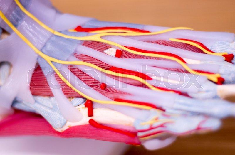 Foot medical study student anatomy model showing bones, toes ...