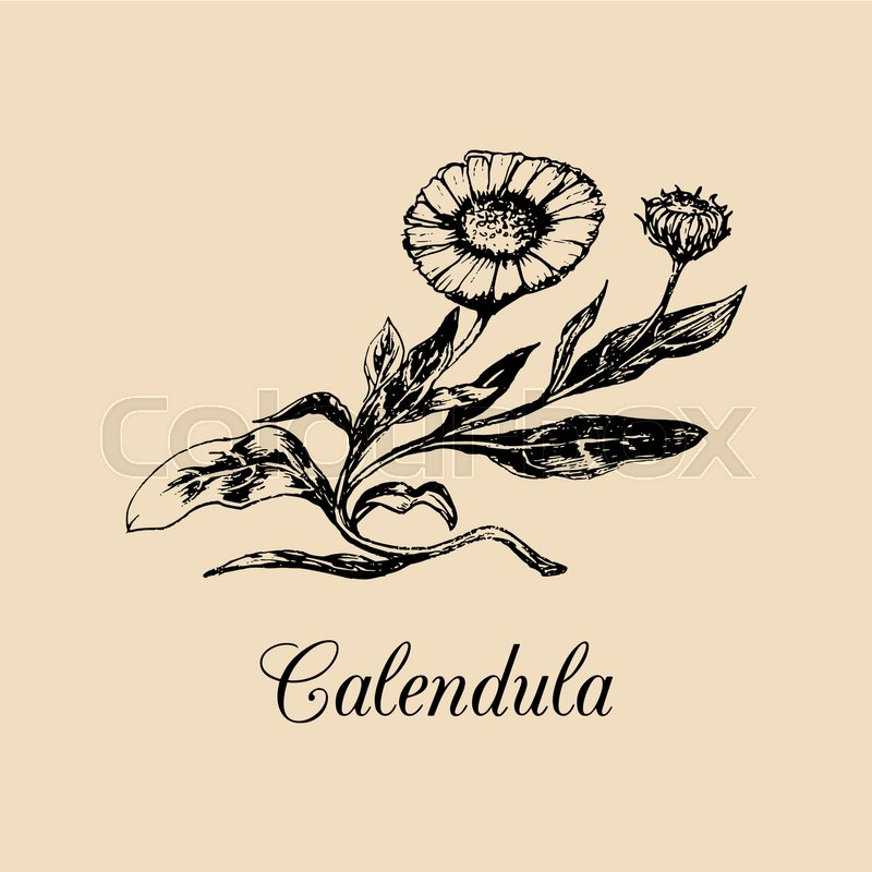 Calendula Illustration