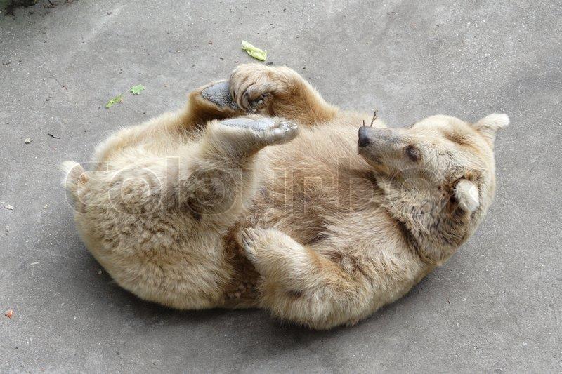 Bär auf dem Rücken liegend   Stockfoto   Colourbox