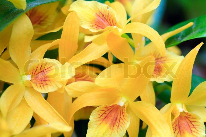 sch ne gelbe orchideenbl ten cluster makro stockfoto colourbox. Black Bedroom Furniture Sets. Home Design Ideas