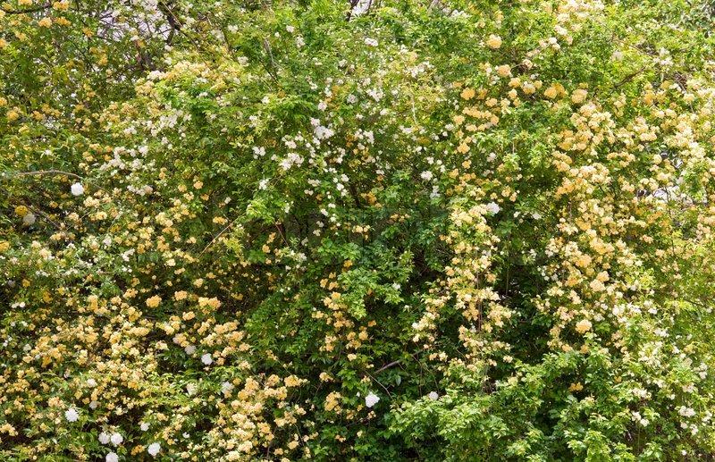 Blüte Frühling Strauch mit weiß und beige Blumen ( Natur Hintergrund ...