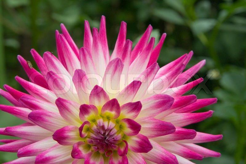 Ein Teil der pink- weiße Dahlie Blume im Garten | Stockfoto | Colourbox