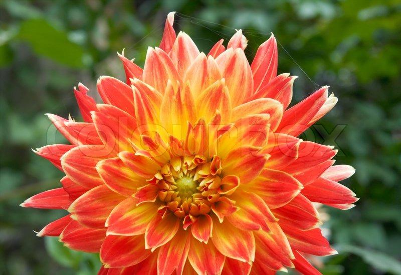 Close-up rot-gelb dahlia Blume wie in Garten | Stockfoto | Colourbox