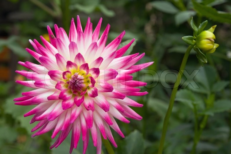 Pink white dahlia flower in garden stock photo colourbox mightylinksfo